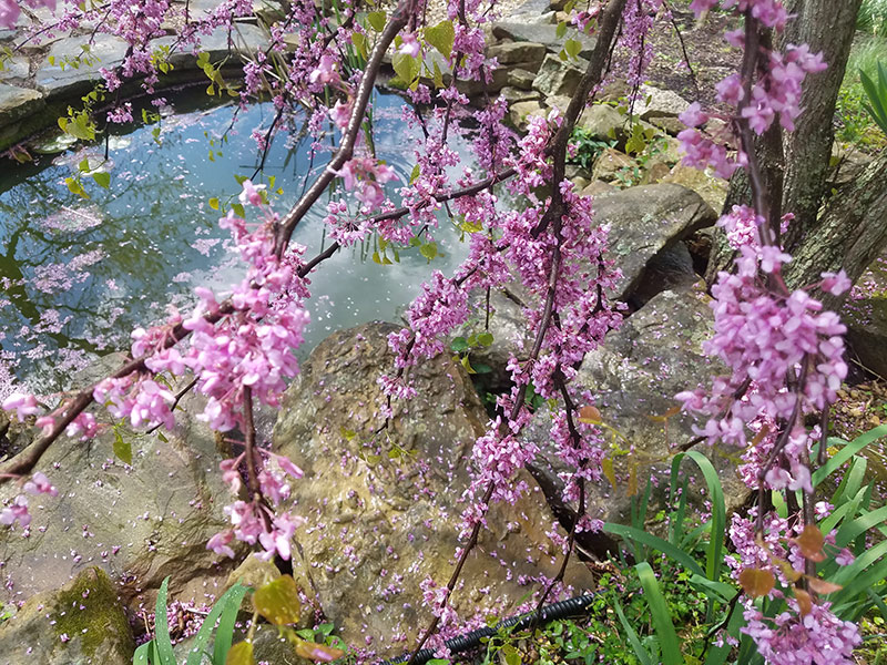 Eastern Redbud. Photo by Andrea deTarnowsky